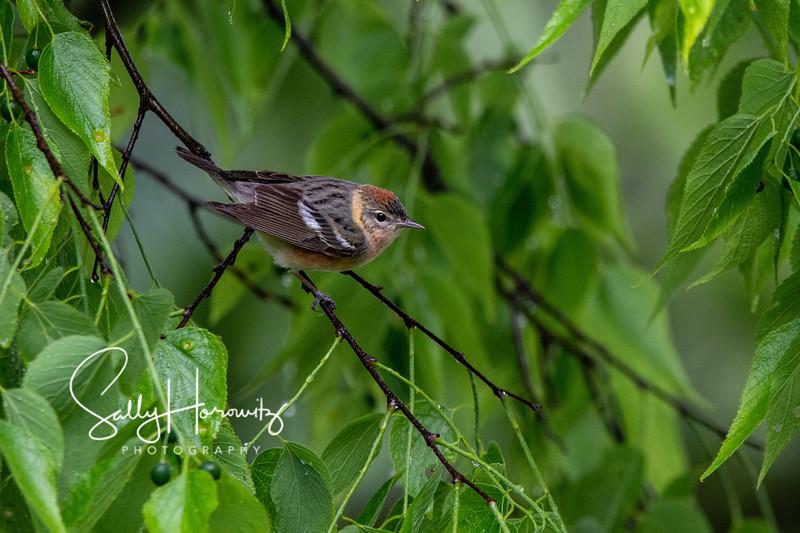 Bay breasted warbler female 2