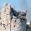 Bluebird female 1