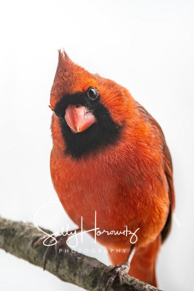 Northern Cardinal male 9