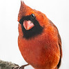 Northern Cardinal male 9
