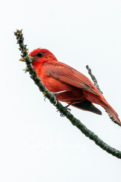 Summer tanager 1