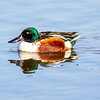 Northern Shoveler male 4