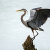 Great blue heron 13