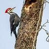 Pileated Woodpecker 4