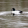 Common Goldeneye 2