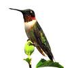 Ruby-throated Hummingbird 2