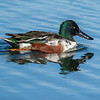 Northern Shoveler male 3