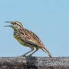 Eastern Meadowlark 10