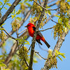 Scarlet tanager 2