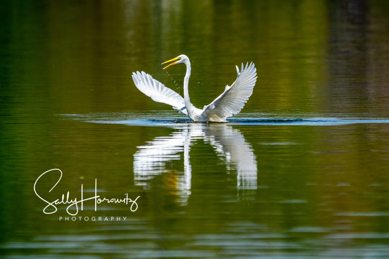 Great white egret 8