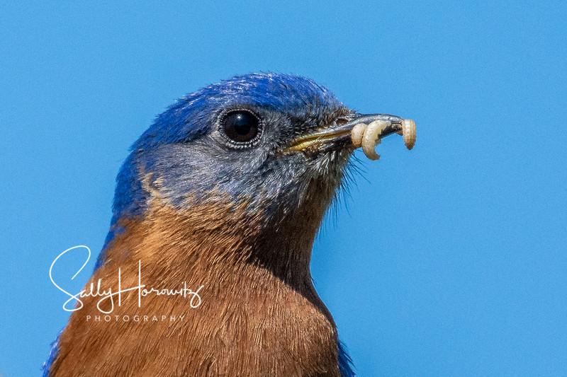 Bluebird male 6