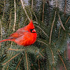 Northern Cardinal male 8