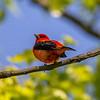 Scarlet Tanager 10