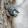 White breasted nuthatch 3
