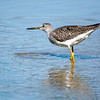 Greater Yellowlegs 2