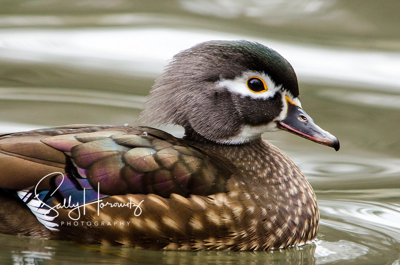 Female Wood Duck 1