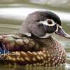 Female Wood Duck 1