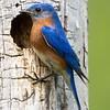 Bluebird male 9