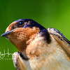 Barn Swallow 1