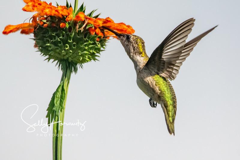 Ruby-throated Hummingbird 23