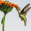 Ruby-throated Hummingbird 23