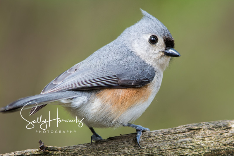 Tufted Titmouse 3