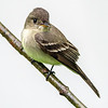 Willow flycatcher 2