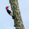 Red headed woodpecker 1