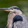Great blue heron 12