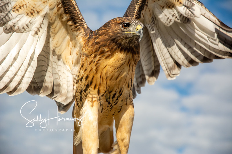Red tailed hawk 8