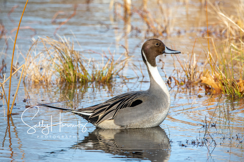 Northern Pintail 6