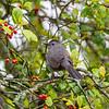 Gray Catbird 5