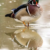 Male wood duck 10