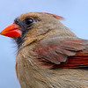 Northern Cardinal female 3