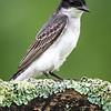 Eastern Kingbird 6