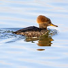 Female Hooded Merganser 5