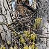 Great horned owlet 3