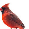 Northern Cardinal male 14