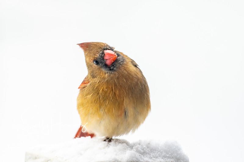Northern Cardinal female 2