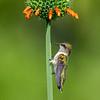 Ruby-throated Hummingbird 7