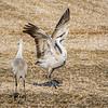 Sandhill crane 6