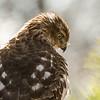 Cooper's Hawk 3