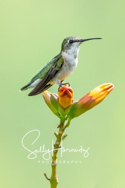 Ruby-throated Hummingbird 22