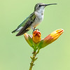 Ruby-throated Hummingbird 22