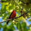 Scarlet Tanager 4