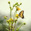 Eastern Tiger Swallowtail 5