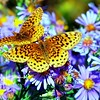 Meadow fritillaries