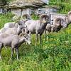 Bighorn Sheep 4