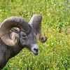 Bighorn Sheep 5