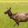 Elk 9